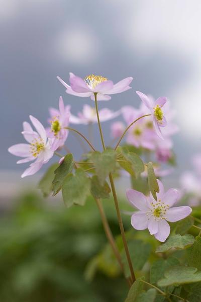 Anemonella thalictroides 'Amelia' a2