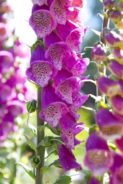 Foxgloves a2_