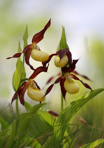 Lady's Slipper Orchid